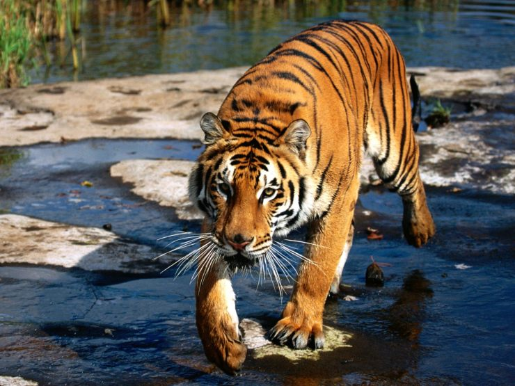 picture of the bengal tiger