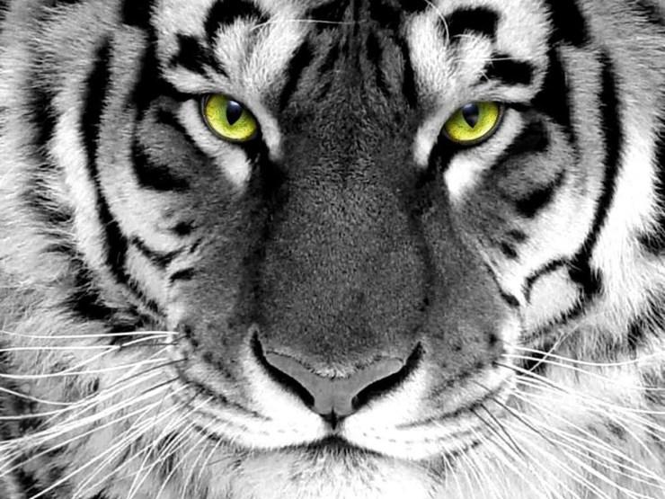 animal tiger wallpaper