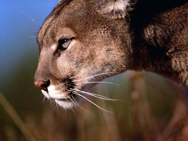 cougar meditating tiger wallpaper