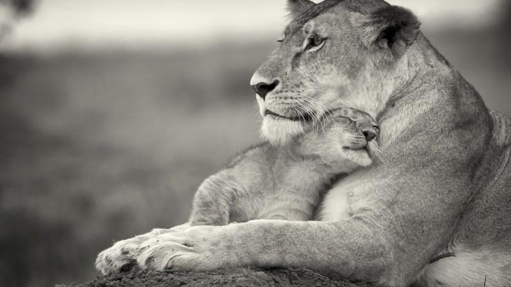 download lion photos