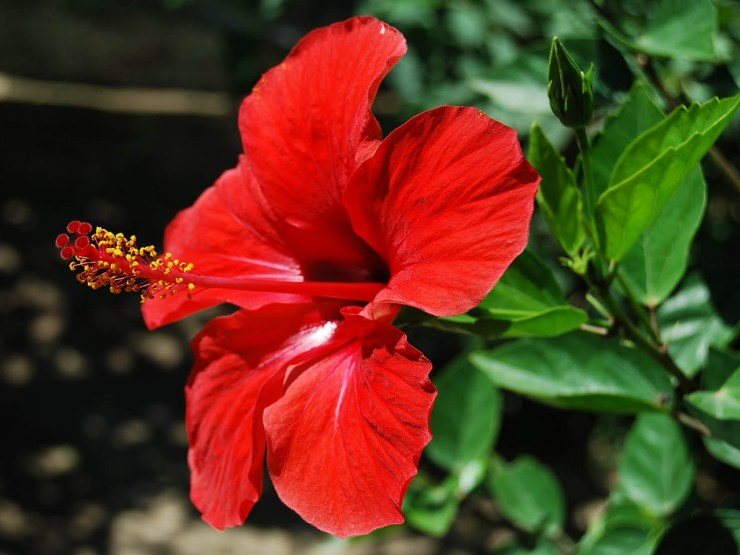 hibiscus flower wallpaper
