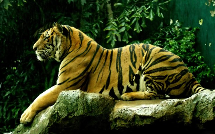 images of tigers for download