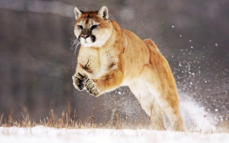 lion image free download