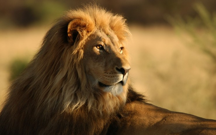 lion pictures free download