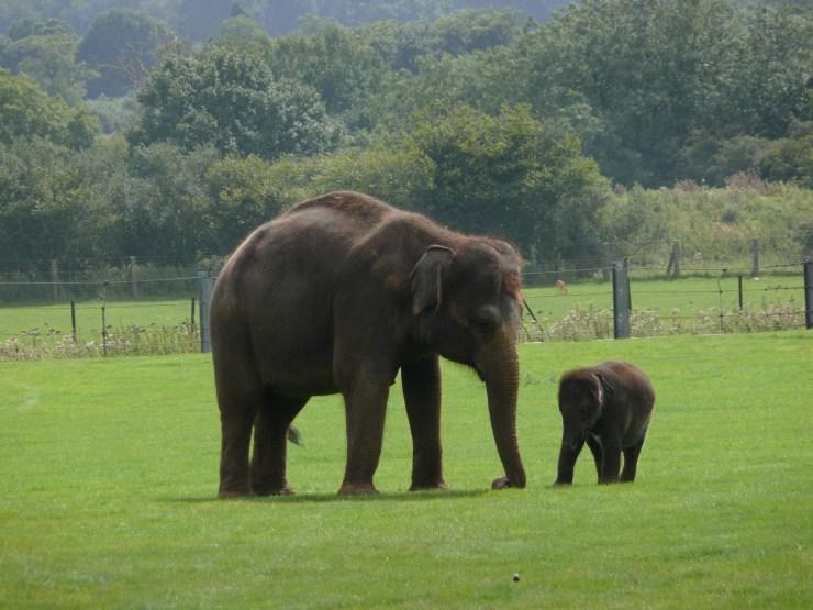 mama baby elephant wallpaper