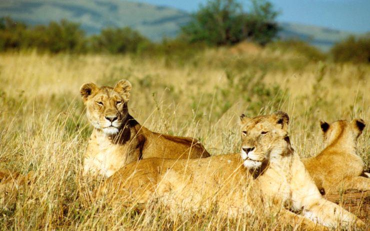photo des lions