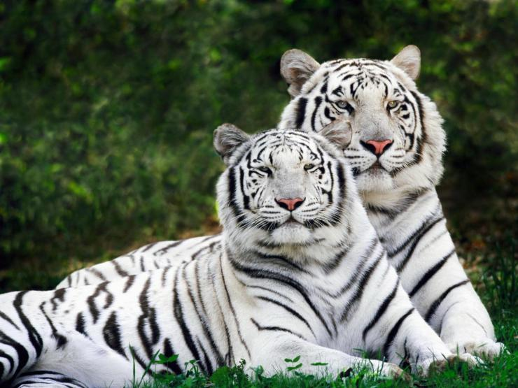 picture of tigers