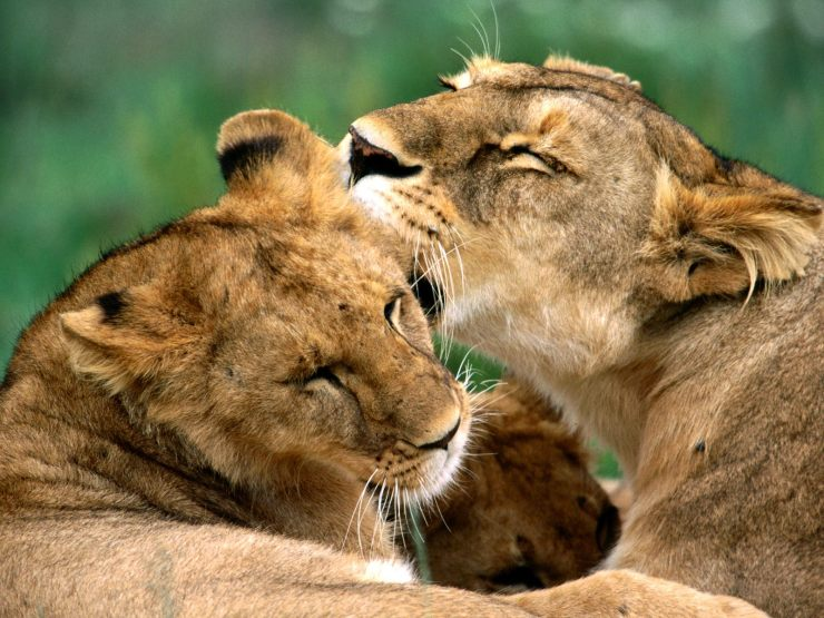 pictures of african lions