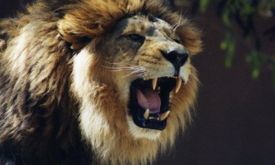 pictures of lions roaring
