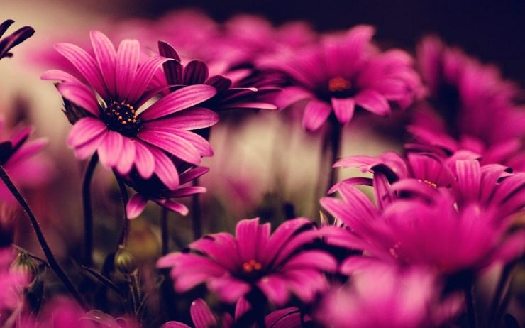 pink flower wallpaper