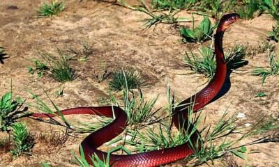 red snake wallpaper