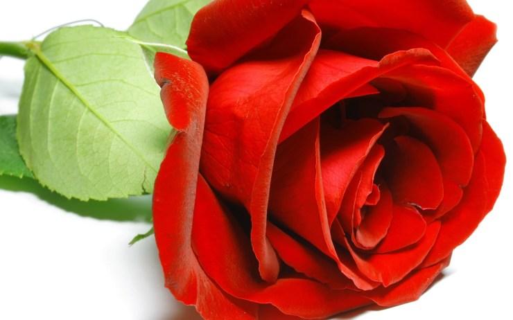 rose flower wallpaper free download