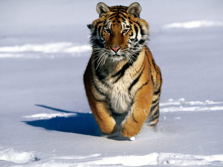 siberian tiger wallpaper