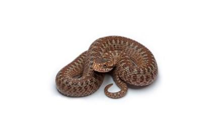 snake wallpaper desktop