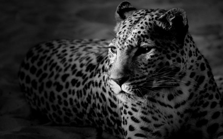 tiger desktop wallpaper free