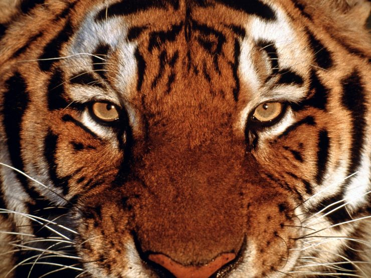 tiger images free download