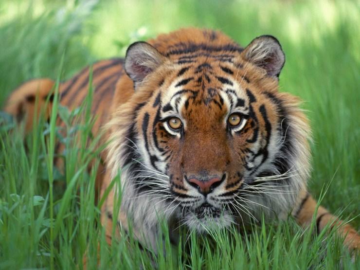 tiger ready for hunt wallpaper