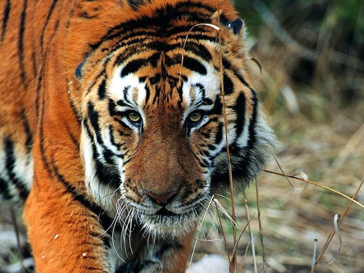 tigers wallpaper download