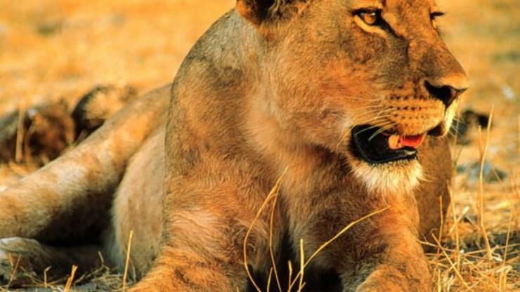 wallpaper of lion