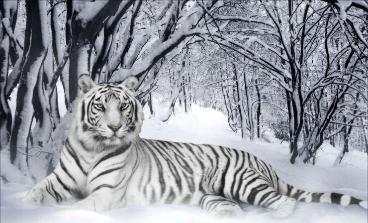 white tiger in snow wallpaper