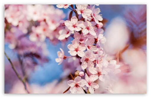 Cherry Blossom Ultra Hd Desktop Background Wallpaper For Multi Display Dual Monitor Tablet Smartphone