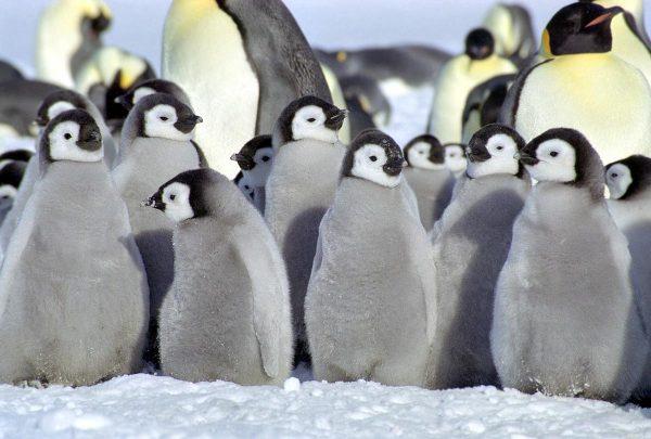 cute baby penguins A6 - HD Desktop Wallpapers | 4k HD