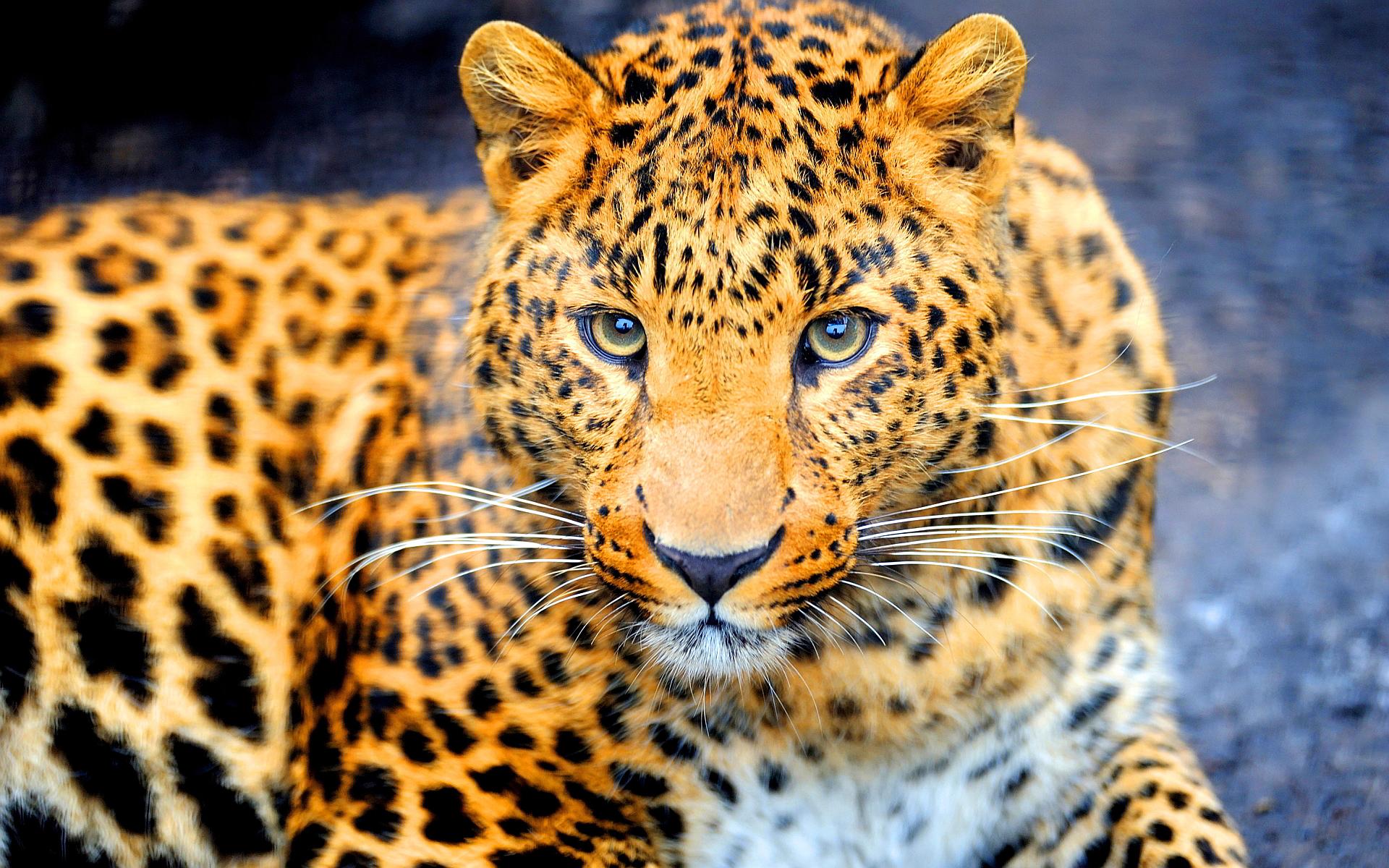Jaguar Animal Wallpaper Hd Desktop Wallpapers 4k Hd