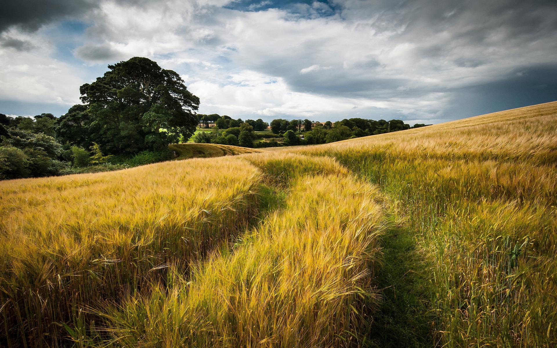 Wheat Field HD Desktop Wallpapers 4k HD