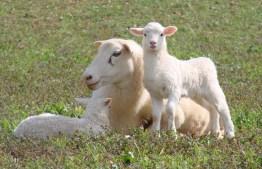 ewe-with-2-lambs