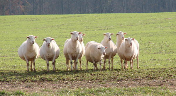 pregnant-sheep-all-lined-up