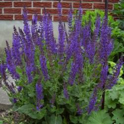 Tall Purple Flowers Perennials That Spread Gardening