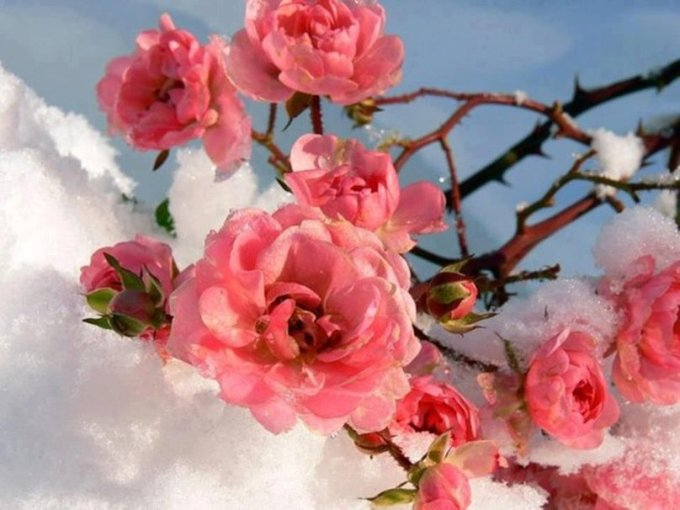Winter Flower 13 Cool Hd Wallpaper   HdFlowerWallpaper com Download Convert View Source  Tagged on   Winter Flower