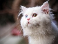 white cat with different eyes mobile iphone wallpapers_768x480