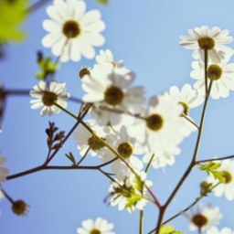 white flowers android hd size wallpapers_470x294