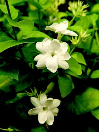 54 Of The Best Smelling Houseplants 31