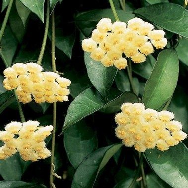 54 Of The Best Smelling Houseplants 36