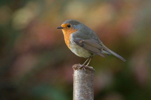 Robin Bird Photography, HD Birds, 4k Wallpapers, Images ...