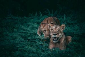 lion king online subtitrat # 44