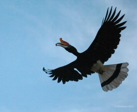 RinoHornbill