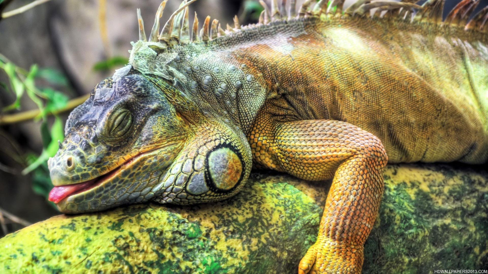 Image result for sleeping iguana pictures