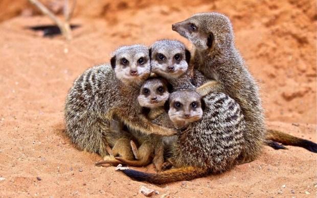 Image result for anime meerkat