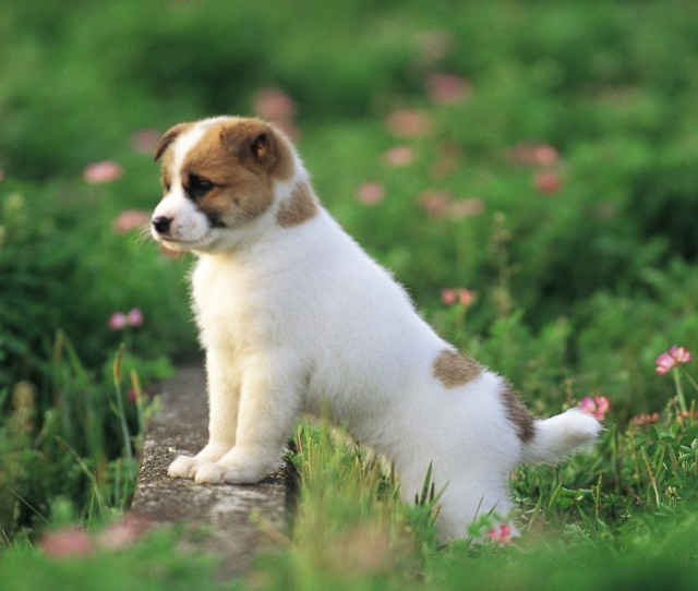 Free Cute Puppy Wallpaper