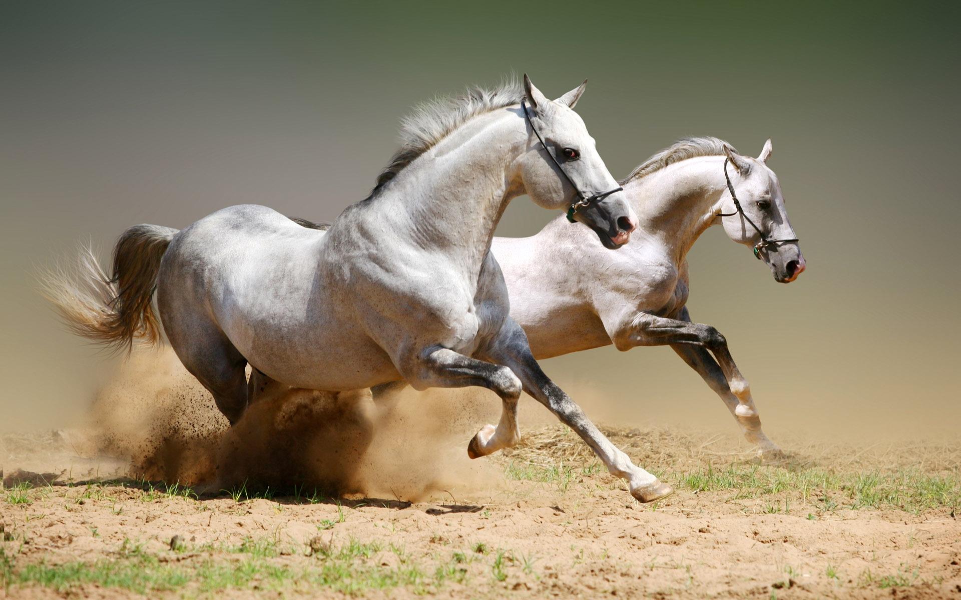 white horse wallpaper 25694 1920x1200 px ~ hdwallsource