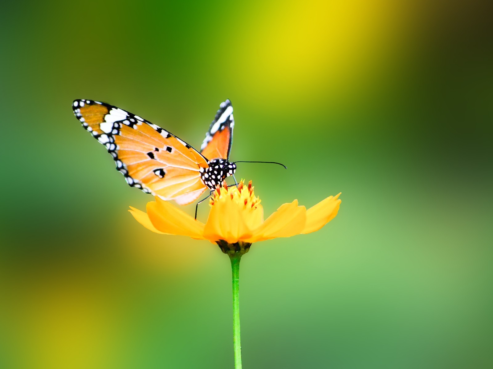 Stunning Butterfly Wallpaper 45642 1600x1200px Stunning Butterfly Wallpaper 45642