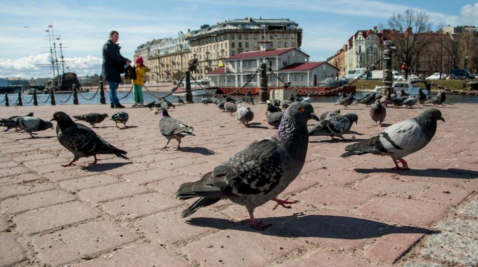 Кивающая походка голубей связана с тем, что так им легче рассматривать интересующий их объект
