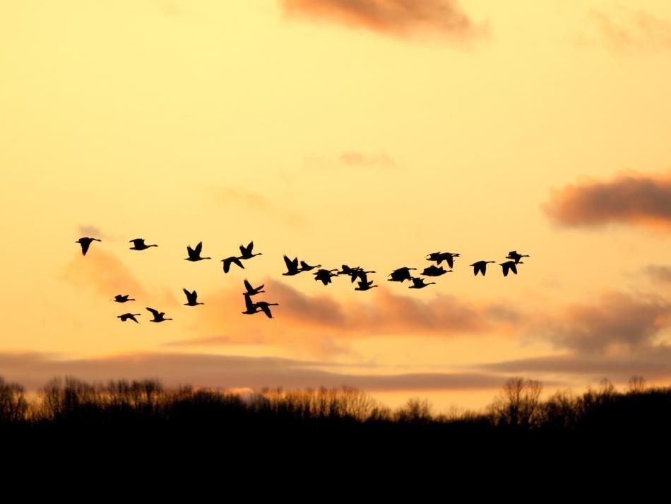 Дикие утки в небе