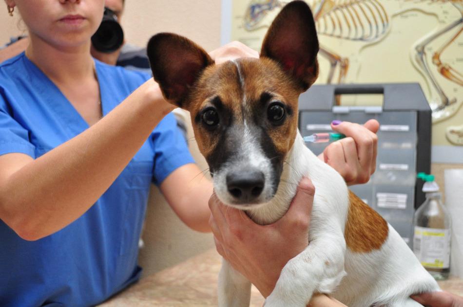 Folyamatosan emelkedhet-e egy kutya krónikus bakteriális prosztatitiszben