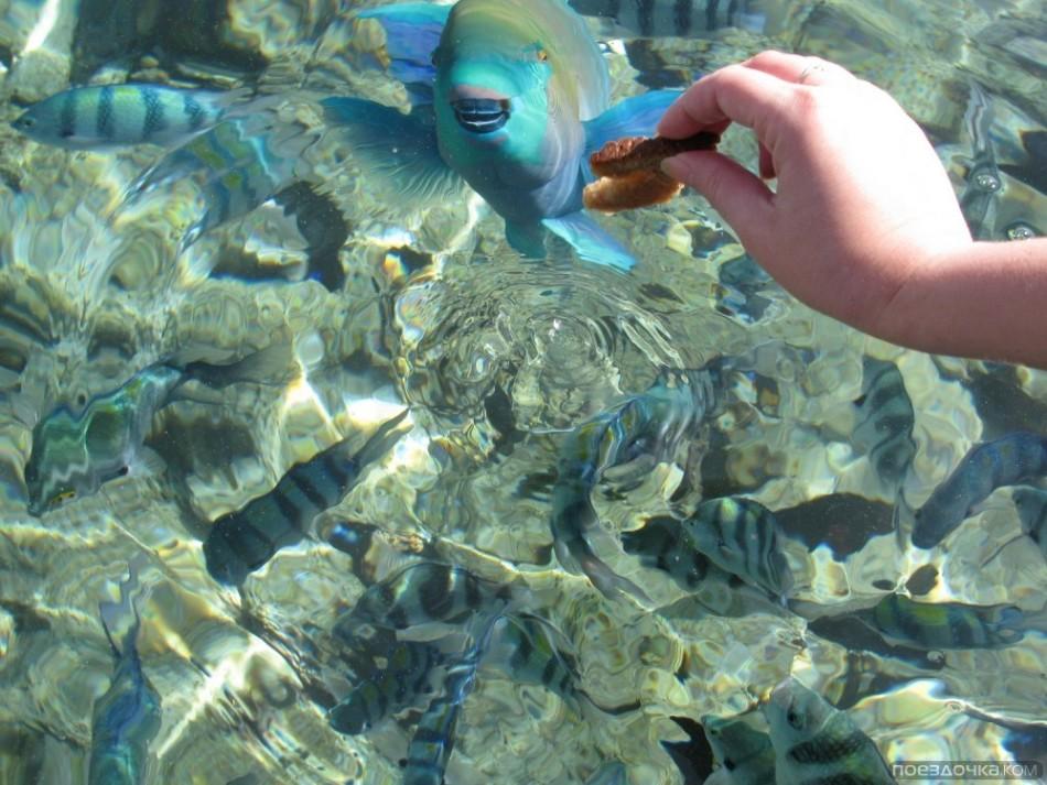 A turista táplálja a halat a Vörös-tengeren