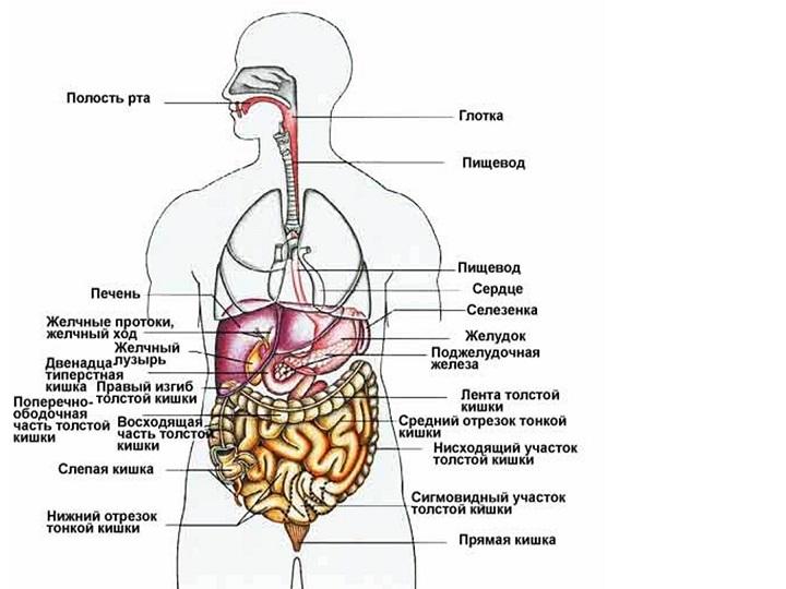 Анатомия человека с картинкам