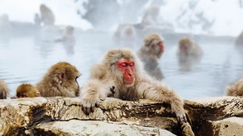 In a display of civility, baboons sit in hot pools.